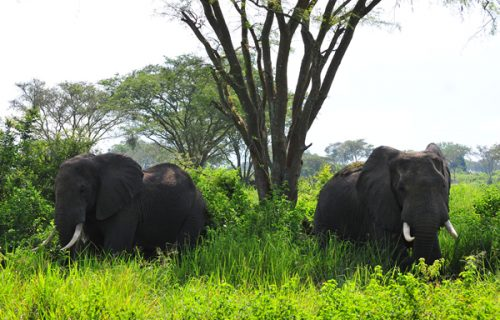 20 Days Grand Safari tour in Uganda