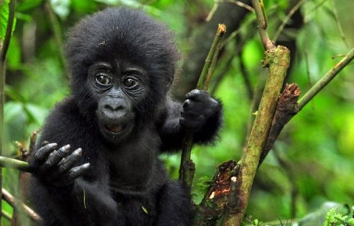6 days gorilla tracking and wildlife safari in Uganda