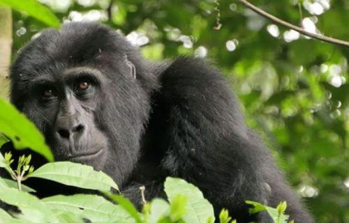 8 Days Rwanda Congo Uganda Highlight Safari