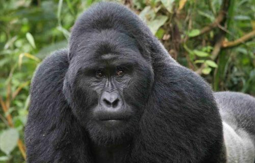 Flying Gorilla Safari in Uganda; 6 Days
