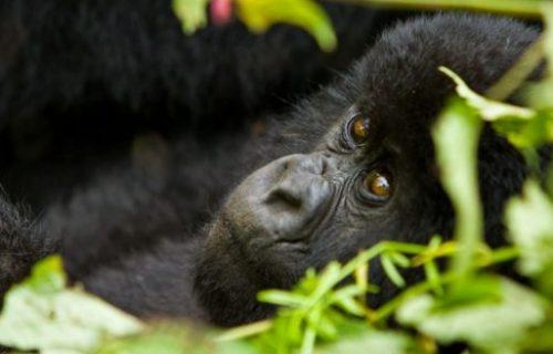 Rwanda Uganda Gorilla trekking Safari 8 days