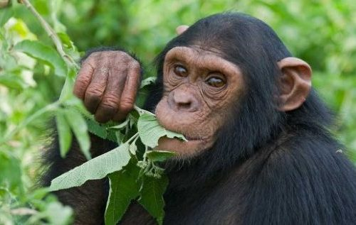 Short Chimpanzee Habituation Safari in Uganda 3 Days