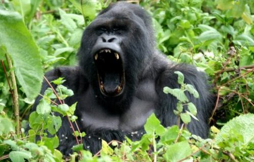 Uganda Gorilla Safari, 6 Days