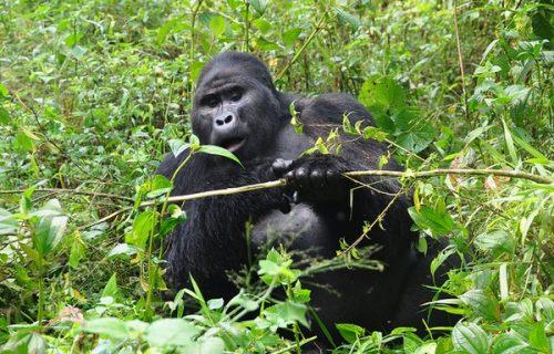 Uganda Rwanda Gorilla Safari 11 Days