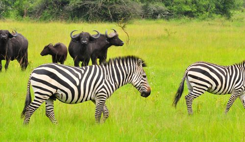 Wildlife Safari in Uganda 8 days