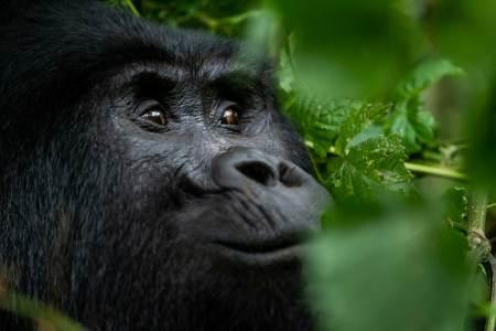 mountain gorillas in bwindi