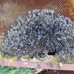 Colony Collapse Disorder-Abeilles-mortes-dead-bees