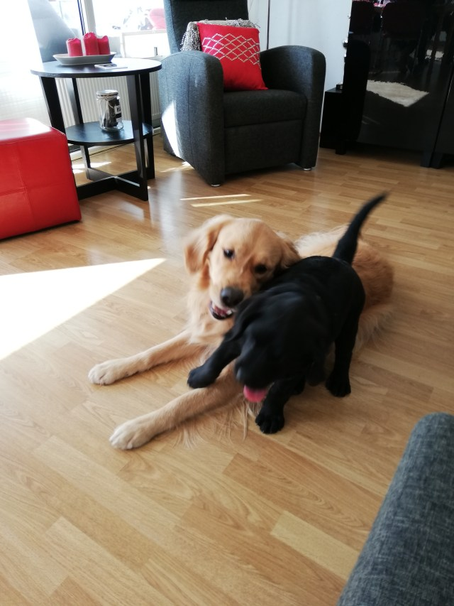 Dogs playing during housesit