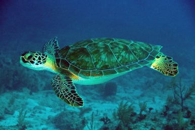 Green Sea Turtles are common near the island of Cozumel and Cancun.