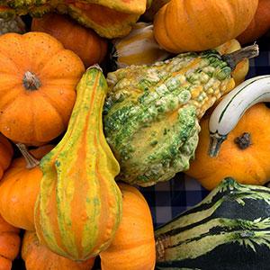 Gourds Sept 15 - Nov 27