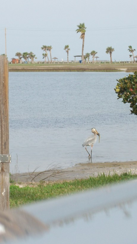Blue Heron catching a fish in Little Bay, Rockport, Texas.