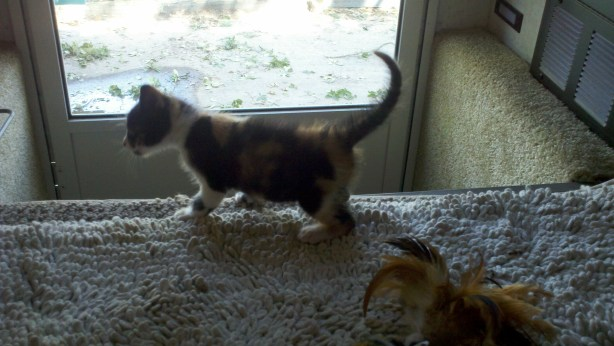 The itty bitty calico kitty.