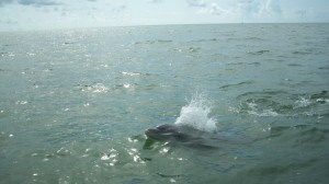 Dolphin swimming with the sailboat.