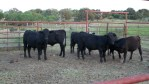 Calves waiting for shots, tagging, and...