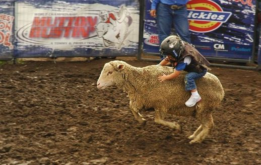 Mutton Bustin' - putting your little kid on a sheep.
