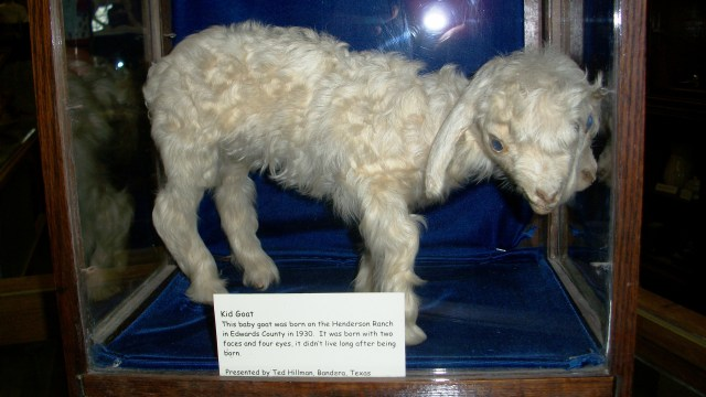 Two-headed goat, born in 1930.