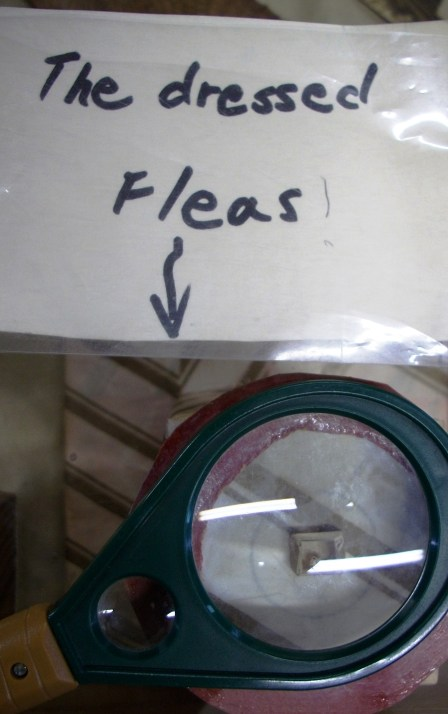 Fleas under (layers of) glass. That is a magnifying glass over their container, which is encased in a glass display case.