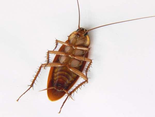 A dead cockroach - as it should be.