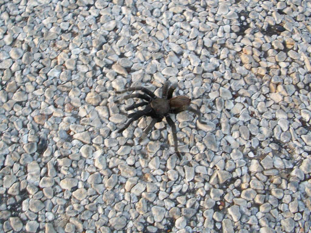 Sign needed: Tarantula Crossing.