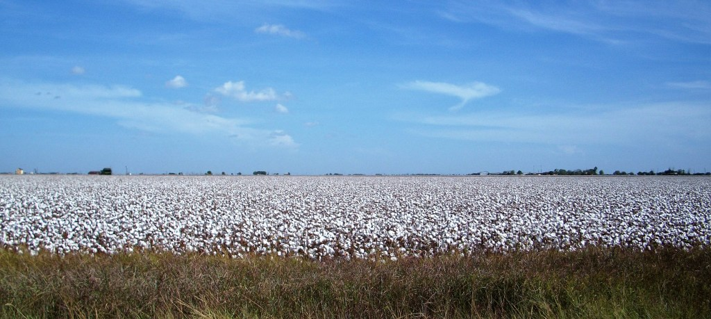 Cotton pickin' time.