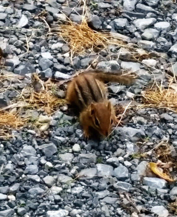 These little chipmunks are so cute!! They live all around the campground.
