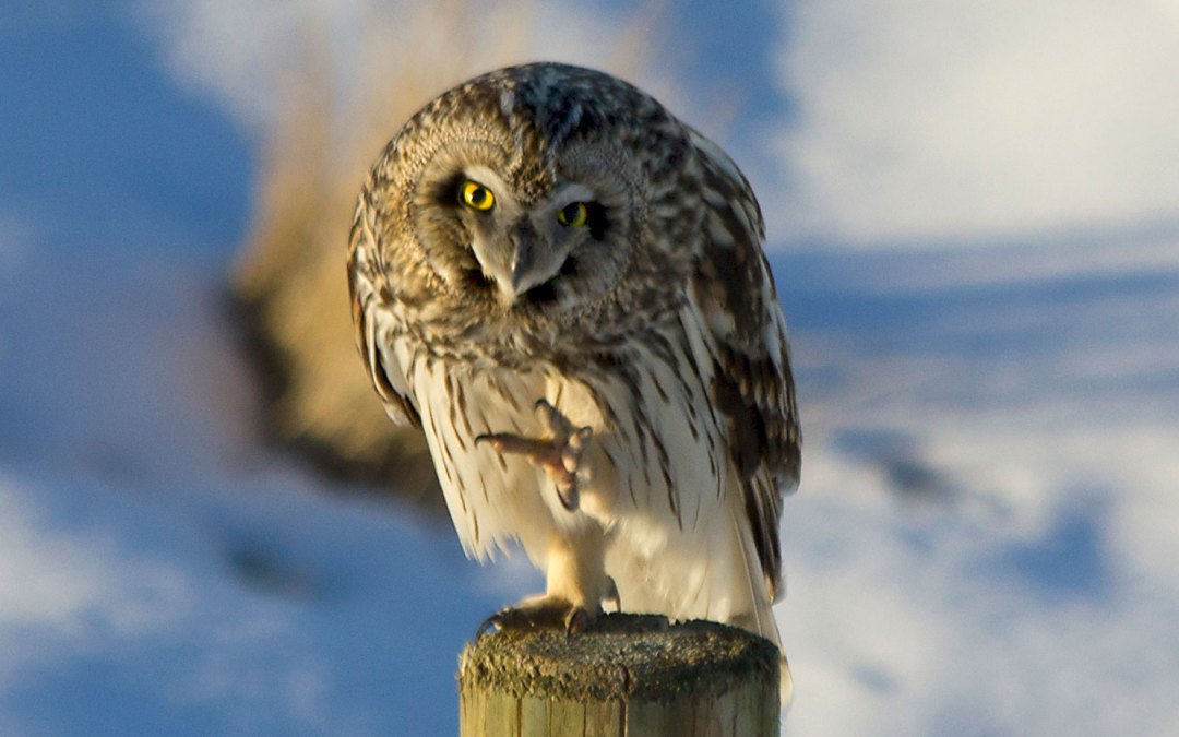 My quest for the Short Eared Owl