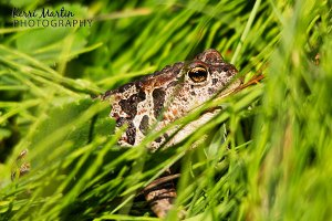 Boreal Toad, Kananaskis, July 2013