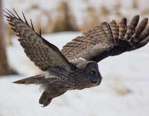 Great Gray Owl, March 2013