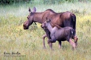 Cow and calf Moose, Kananaskis, August 2013