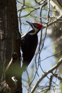Pileated Woodpecker, Weaselhead, Mary 2013