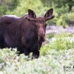 Moose Photography – my 2013 year in review (part seven)