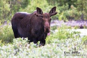 Young Bull Moose, Kananaskis, July 2013