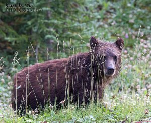 Grizzly Bear Cub, Brownie, August 2013
