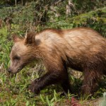 Grizzly Bear Photography 2013 – my 2013 year in review (part eight)