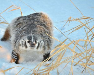 Badger, Photo by Mike Kelly