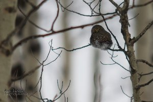 Northern Pygmy Owl, December 2013