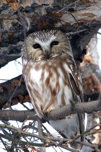 Northern Saw Whet Owl, January, 2012