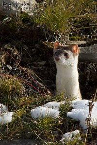 Weasel, October 2013, Highwood pass