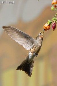 Giant Hummingbird, Cusco, Peru