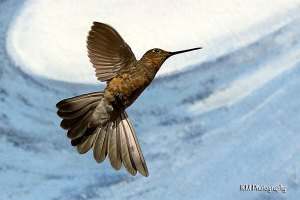 Giant Hummingbird, Cusco Peru
