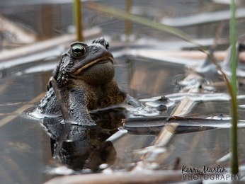 Jabba the Toad - American Toad