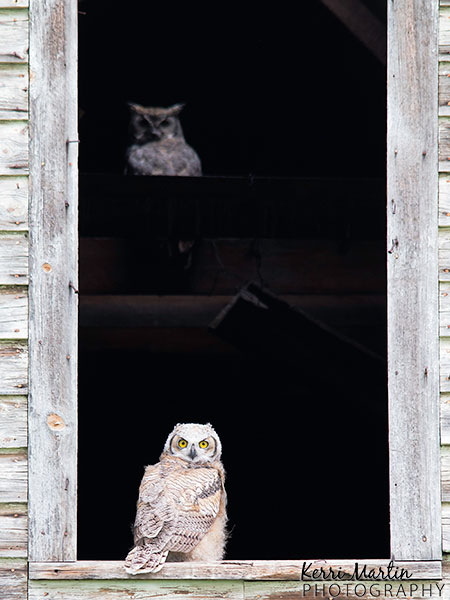 Great Horned Owlet and Shadow mom -West of Vulcan, AB