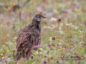 Dusky Grouse Chick