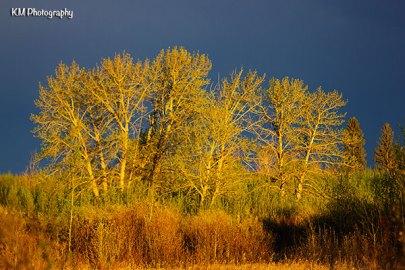 Elbow Valley Trees
