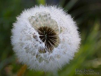 Dandelion Fuzz Dew