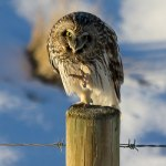 A letter of gratitude to the Short-eared Owls of Alberta