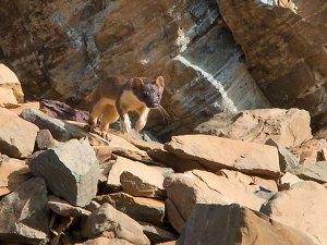 Long-tailed Weasel - Logan Pass, Montana