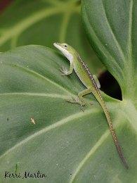 Hawaii Lizard