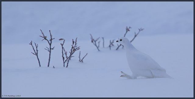 Photo by CrzyCnuk Photography. See more of Jamie's ptarmigan images here.