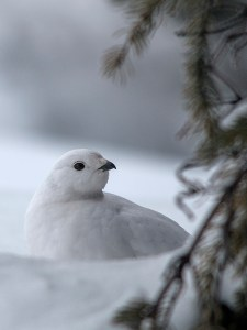 White-tailed Ptarmigan, Icefields Parkway, AB